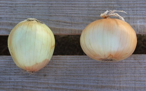 Biting onion (L) and sweet onion (R), both from the same grocery bin. - WINA STURGEON
