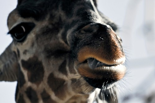 giraffe_with_mouth_snarl.jpg