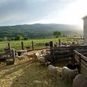 Local Lamb