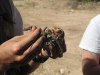 06ef7c49_common_side-blotched_lizards.jpg