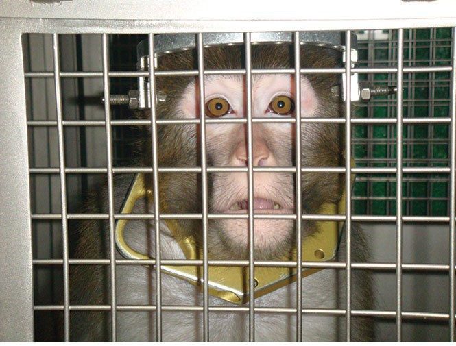 Frik, a monkey that underwent lab testing at U of U in 2009. This is not the monkey that was euthanized. - COURTESY PETA
