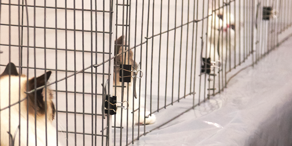 Cats await judging in ring cages - SARAH ARNOFF
