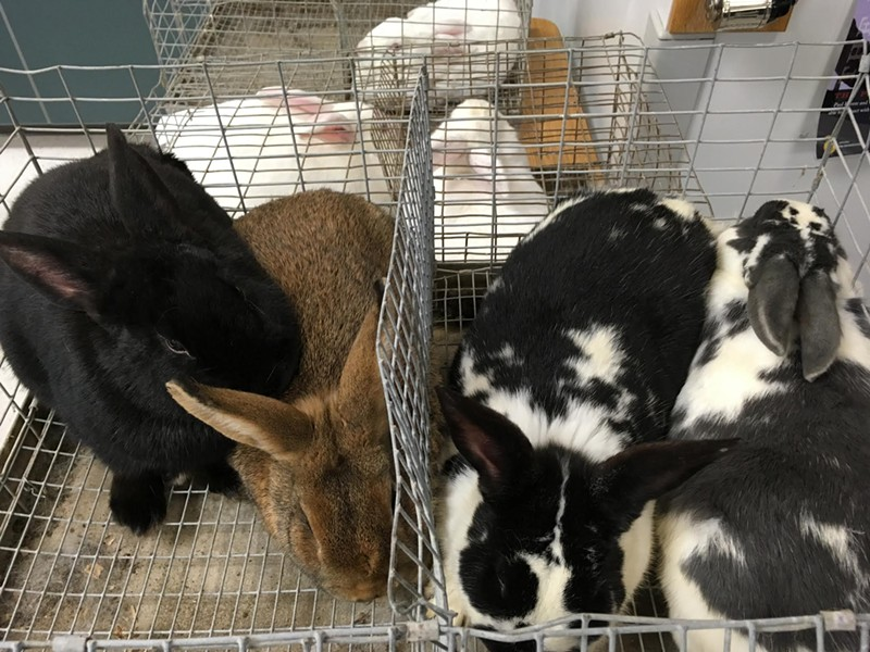 Pairs of rabbits are on display in cages at Riverton High School for the first Rabbit Breeders Convention. - DW HARRIS