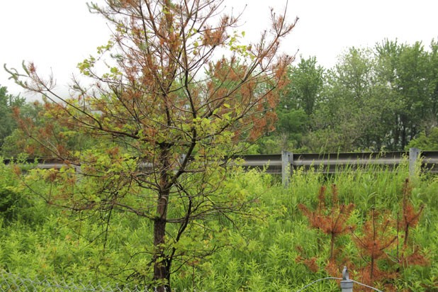 A brown conifer alongside Interstate 89