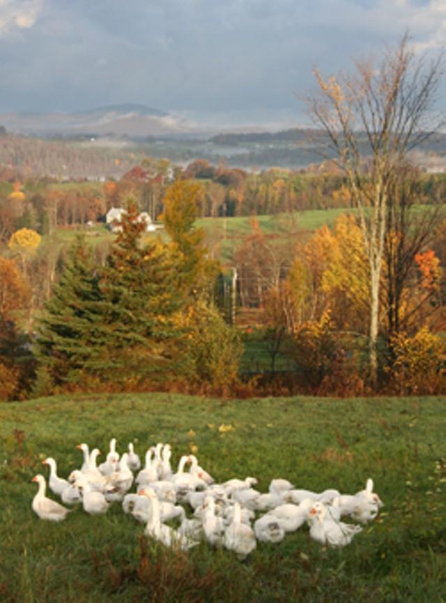 foodnews-geese.jpg