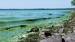 Algae-green waves roll upon the shore in Missisquoi Bay
