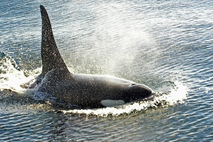 An orca - COURTESY OF WIKIMEDIA COMMONS