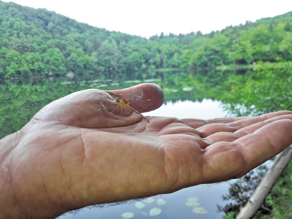 Autumn meadowhawk dragonfly in a volunteer's hand - ETHAN DE SEIFE