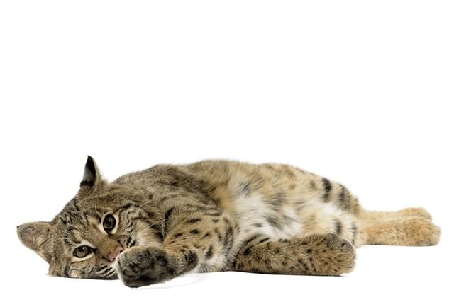 Bobcat - © ULTRASHOCK | DREAMSTIME.COM