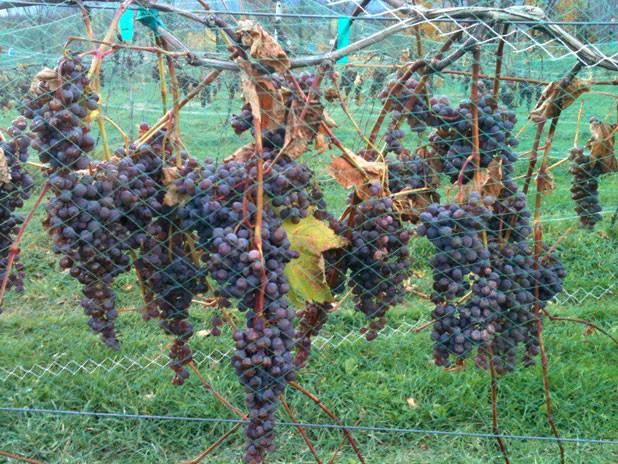 foodnews-vineyard.jpg
