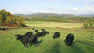 Could the Lowline Angus Cow Save Vermont Beef?