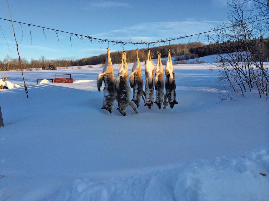 Coyotes killed by Wayne Dion - MARK DAVIS