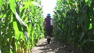 Great VT Corn Maze [SIV143]