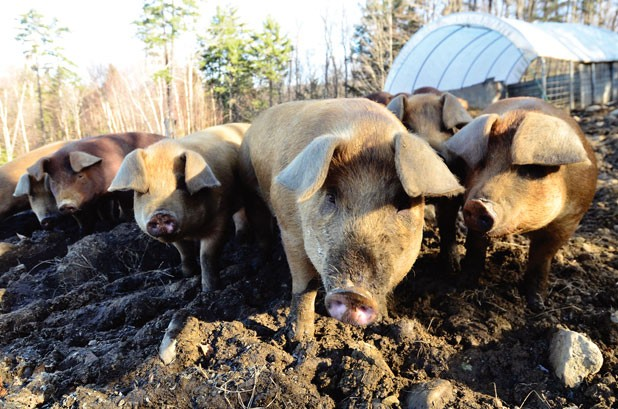 618-pigs9.jpg