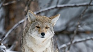"""Hunters and Animal Advocates Push to Outlaw Coyote-Killing """"Derbies"""""""