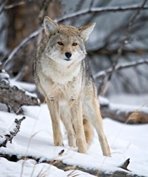 local-coyote.jpg