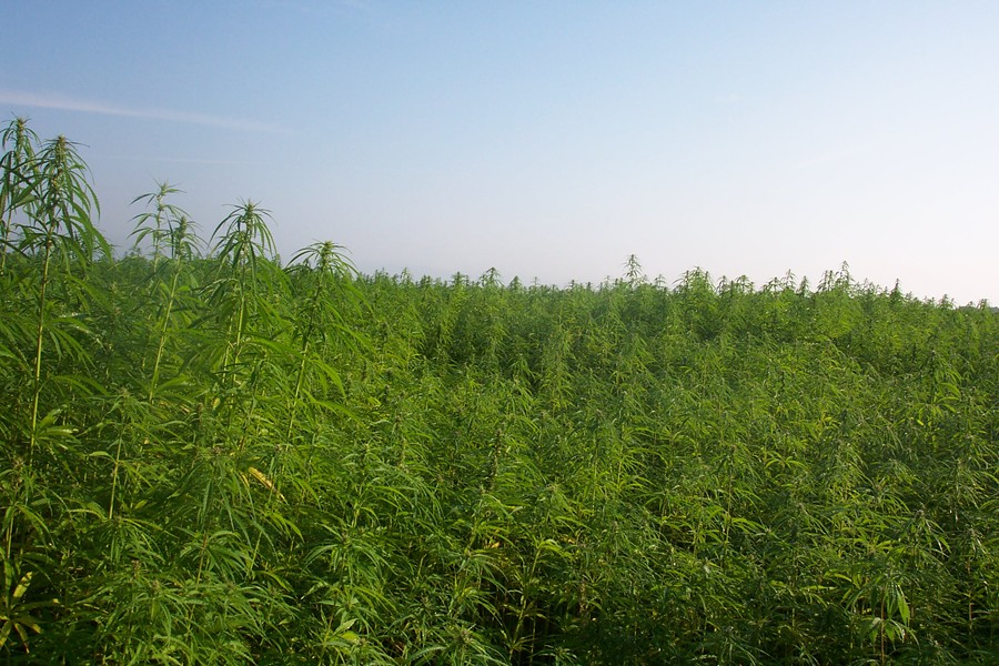 Image of industrial hemp production in France - WIKIPEDIA USER ALEKS (CREATIVE COMMONS)