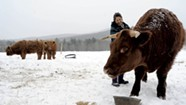 The Life, Death and Afterlife of a Vermont Steer