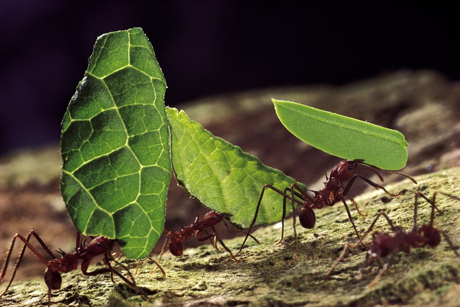 Leafcutter ants doing their thing - MARK W. MOFFETT | COURTESY OF SMITHSONIAN INSTITUTION TRAVELING EXHIBITION SERVICE