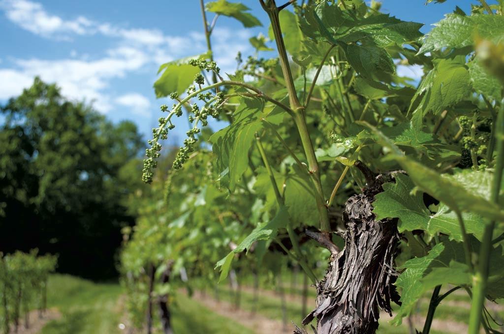 Lincoln Peak Vineyards - COURTESY OF HANNAH PALMER EGAN