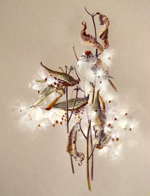 "COURTESY OF SUSAN BULL RILEY - ""Milkweed and Tree Sparrow"" by Susan Bull Riley"