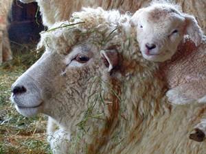 f-sheep-piggybacking.jpg