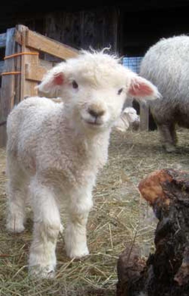 One of John O'Brien's Lambs