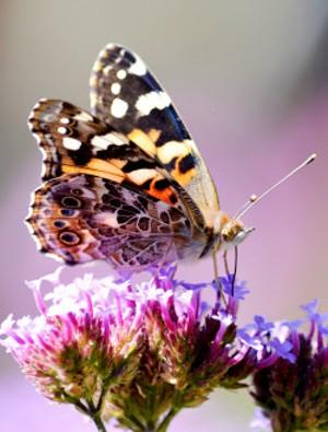 6054d36d_butterfly_on_beebalm2.jpg