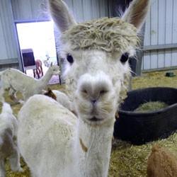 food-alpaca.jpg
