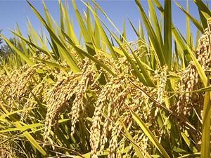 51a477f5_rice_plants_irri_.jpg