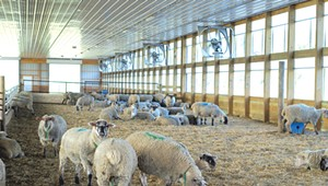 Blood, Sweat and Shears: This Benson Sheep Farm Produces an Unusual Crop