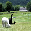 Breeding and BBQ at Cas-Cad-Nac Alpaca Farm