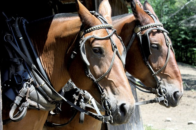 Ted and Petey, two of Carl Russell's 14-year-old draft horses - KEN PICARD