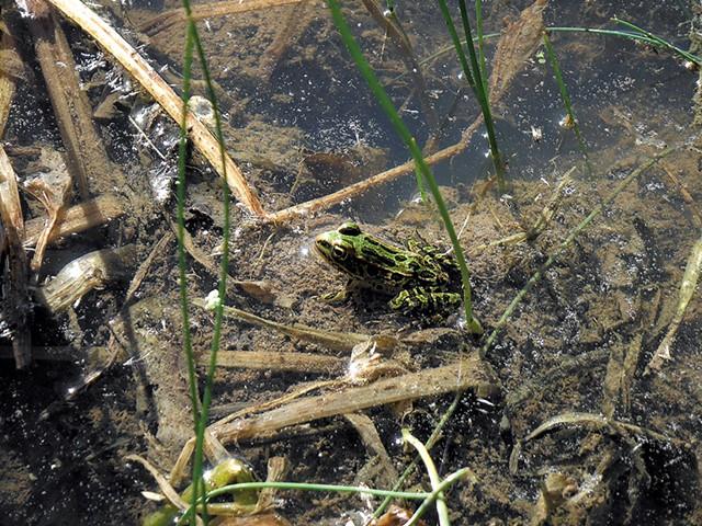 Northern leopard frog - ETHAN DE SEIFE