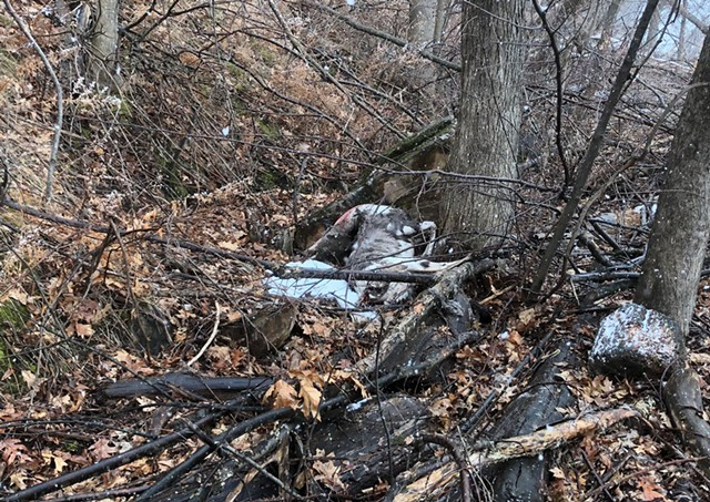 The dead animal, believed to be a deer, found on Lake Champlain in the New North End last week. - COURTESY OF: DERYK ROACH