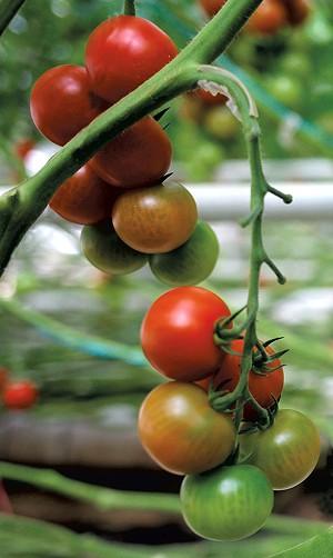 Long Wind Farm tomatoes - SARAH PRIESTAP