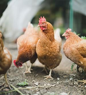 Chickens - BRENT HARREWYN