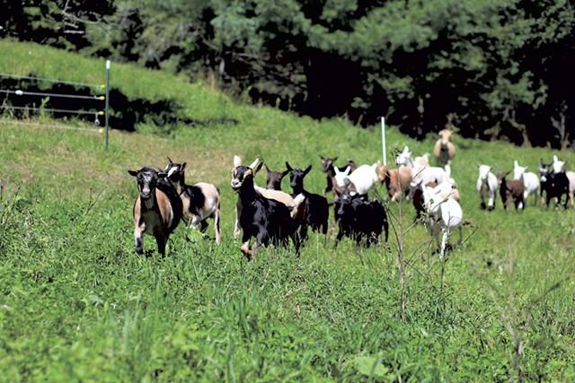 Goats at Sweet Doe Dairy - SARAH  PRIESTAP