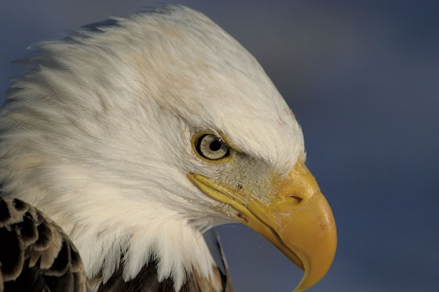 Bald eagle - COURTESY OF TOM ROGERS