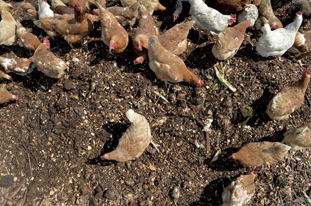Chickens feeding at Perfect Circle Farm - TAYLOR DOBBS