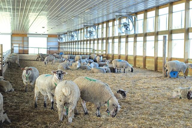 Sheep in one of the barns at the Binding Site's farm in Benson - SARA TABIN