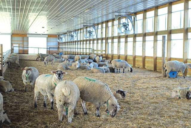 Sheep in one of the barns at the Binding Site's farm in Benson - SARA TABIN