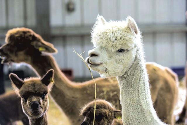 Alpacas a Cas-Cad-Nac Farm - TOM MCNEILL