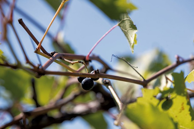 Grapes on the vine at Shelburne Vineyard - JAMES BUCK