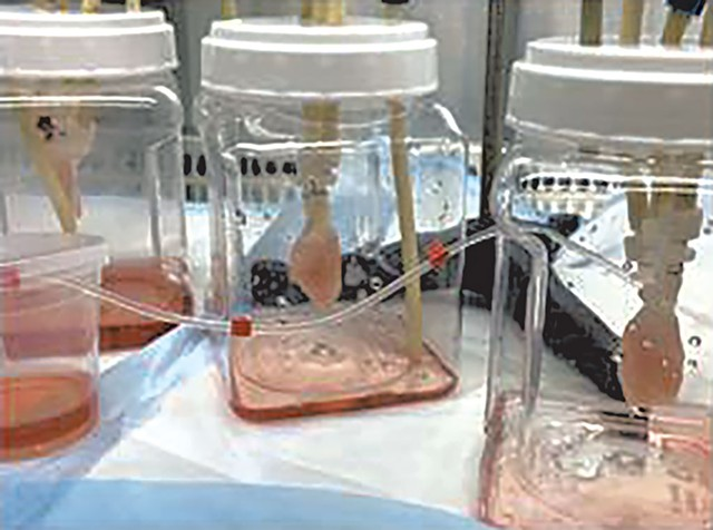 Mouse lungs being grown in a lab using stem cells - COURTESY OF THE UVM LARNER COLLEGE OF MEDICINE