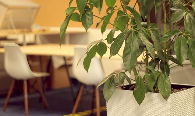 A ficus plant at the Vermont Teddy Bear offices - DAVID LITTLEFIELD