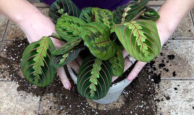 Potting a Calathea plant at Gardener's Supply - JAMES BUCK