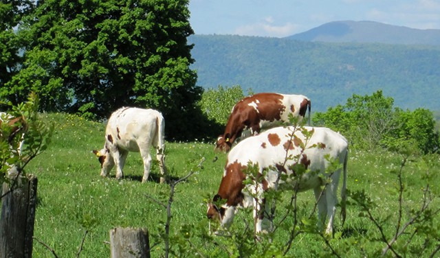 Cows at Blue Spruce Farm - © CABOT CREAMERY CO-OPERATIVE