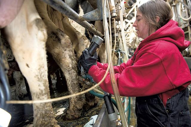 Chelsea Edgar attaching a milking machine - CALEB KENNA