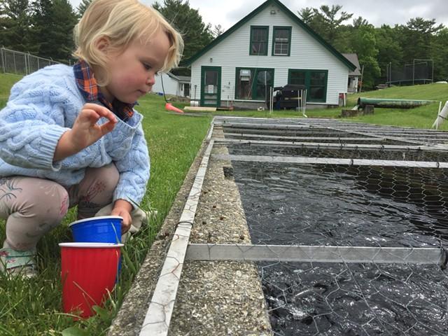 A child feeding the fish at the hatchery - FILE: MEGAN JAMES/KIDSVT